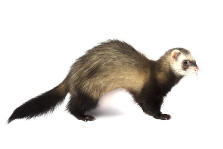 Ferret attacks isolated on white background Banco de Imagens