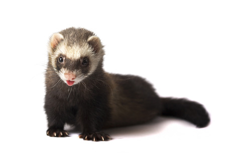 Ferret with stuck out tongue isolated on white background