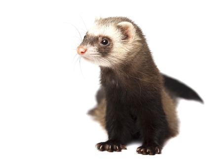 Beautiful ferret isolated on white background