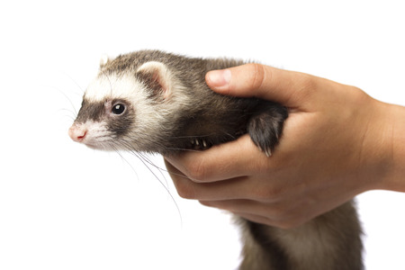 ferret: Cute ferret in hand isolated on white background
