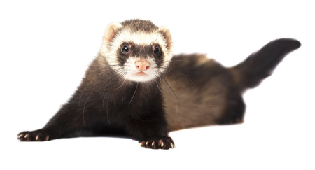 Playful ferret isolated on white background Banco de Imagens