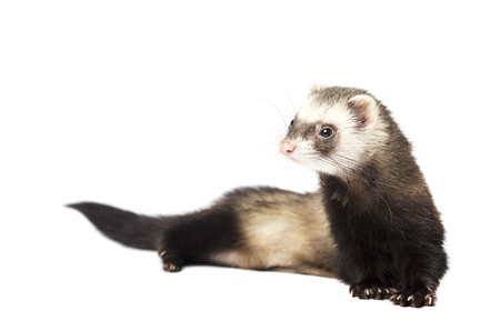 Gray ferret in full growth with a long tail, isolated on white background Stock Photo