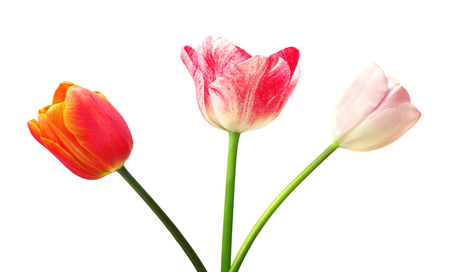 universal love: Tulip with leaves, isolated on white background