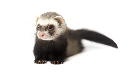 ferret: Cute ferret isolated on a white background