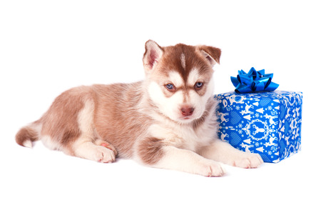 Siberian husky puppy with blue Christmas gift isolated on white background