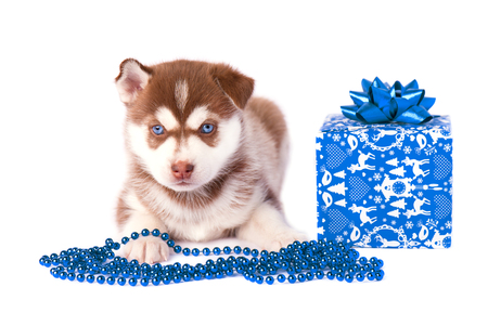 Husky puppy with gift box and blue beads isolated on white background Stock Photo