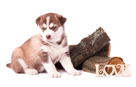 Cute Puppy husky sitting on dry firewood, isolated on white background