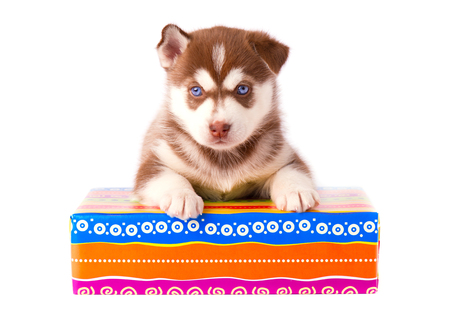 Small puppy siberian husky red color on a colored gift box isolated on white background Stock Photo