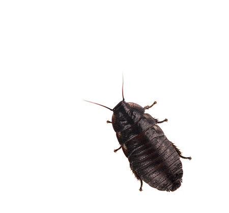 burrowing: Cockroach isolated on white background