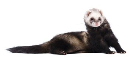 Grey ferret in full growth lies isolated