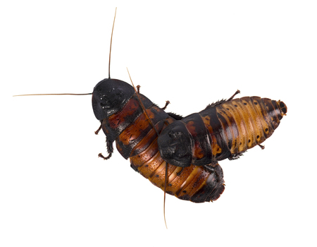 revolting: Cockroach isolated on white background