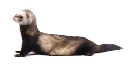 Cute grey ferret in full growth lies isolated