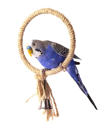 Budgie blue, isolated on white background. Budgerigar on the roost Stock Photo