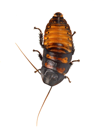Cockroach Madagascar hissing isolated on white background Stock Photo