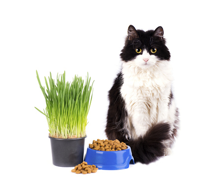 Cat with blue bowl of dry food and green grass in pot isolated on white background