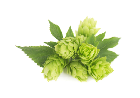 brewery: Fresh green hop branch, isolated on white background Stock Photo
