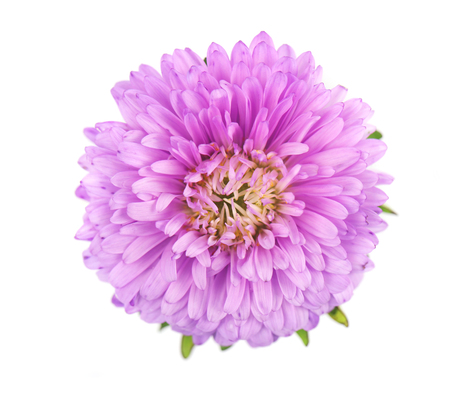 Purple aster flower isolated on white background. Close-up of violet aster