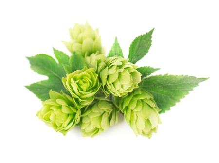 brewery: Fresh green hop branch, isolated on white background. Macro