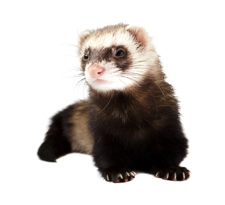 Grey ferret in full growth lies, isolated on white background Stock Photo