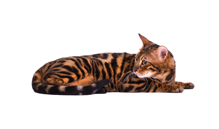 Portrait of Bengal cat, isolated on white background. Stock Photo