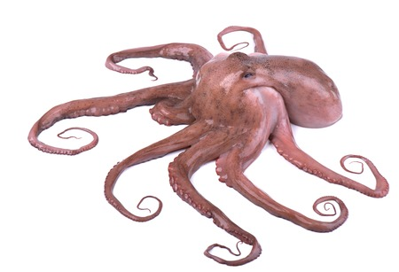 Octopus isolated on white background. Fresh octopus isolated.