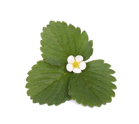 Strawberry flower and leaves isolated on white background Stock Photo
