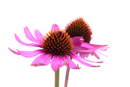Echinacea flowers close up isolated on white backgrounds. Medicinal herbs Stock Photo