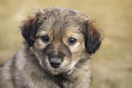 Cute little stray mongrel puppy. Portrait of little brown homeless puppy dog.