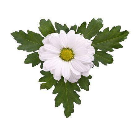 Witte chrysant met groene bladeren geïsoleerd op een witte achtergrond. Madeliefje. Bovenaanzicht