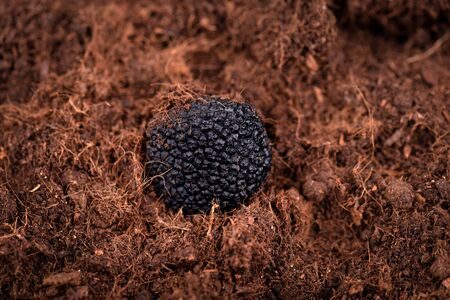 Black truffle in the ground. Truffle hunt. Mushroom cultivation. Delicacy exclusive truffle mushroom. Piquant and fragrant French delicacy