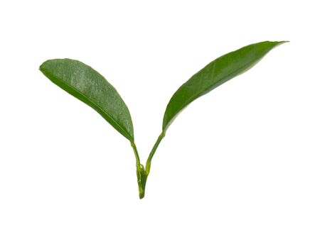 Lemon leaves isolated on white background. Branch of citrus leaf. Part of tropical plant. Top view Stockfoto