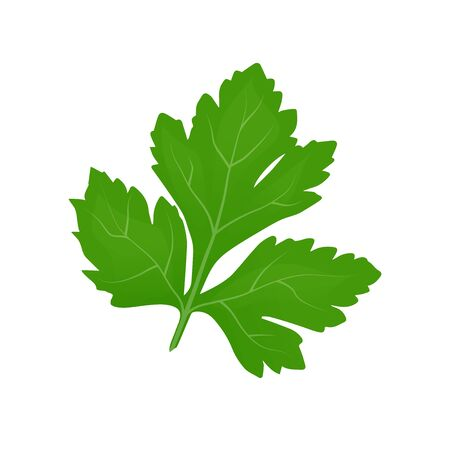 Fresh green parsley leaves on white background. Parsley isolated. Vector illustration Vetores
