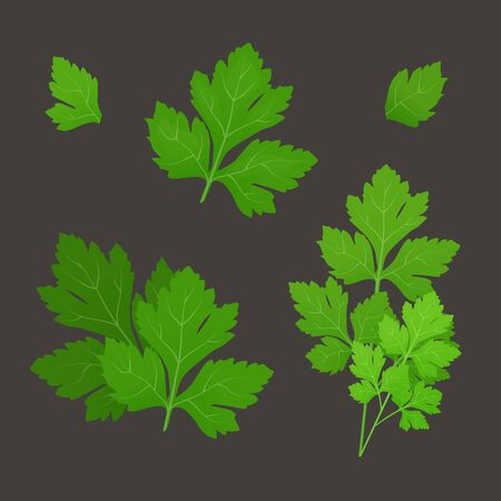 Fresh green parsley leaves on dark background. Parsley isolated. Vector illustration