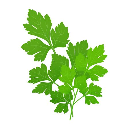 Fresh green parsley leaves on white background. Parsley isolated. Vector illustration Ilustração
