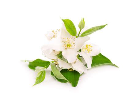 Jasmine flowers isolated on white background. Jasmine branch