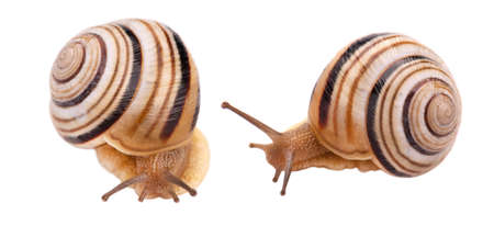 Garden snail in front, isolated on white background
