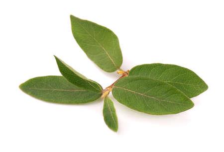 Leaves of Elaeagnus multiflora isolated on white background. Cherry elaeagnus, cherry silverberry, goumi, gumi