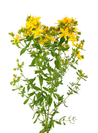 St. John's wort flowers, isolated on white background. Hypericum flowers close up Archivio Fotografico