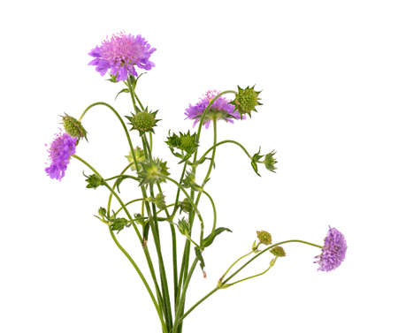 Field Scabious Flower isolated on white background. Knautia arvensis. Beautiful blooming bouquet
