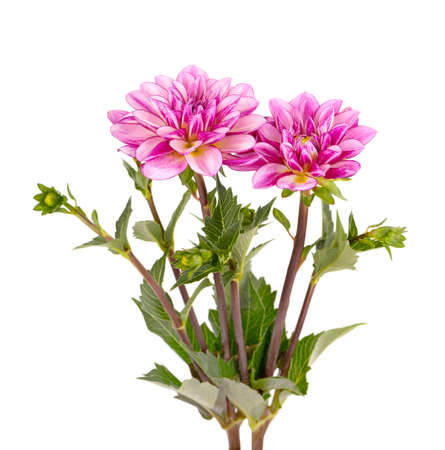 Dahlia flower. Pink Dahlia flower with green leaves, isolated on white background.