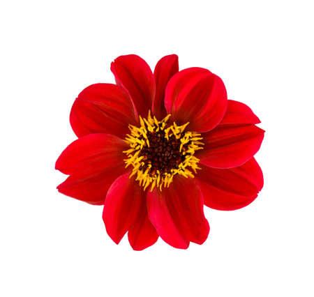 Dahlia flower. Red Dahlia flower isolated on white background
