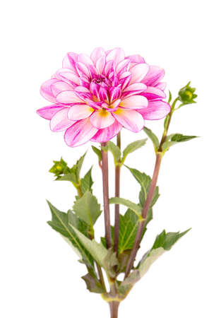 Dahlia flower. Pink Dahlia flower with green leaves, isolated on white background