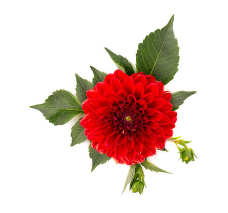 Dahlia flower. Red Dahlia flower with green leaves, isolated on white background