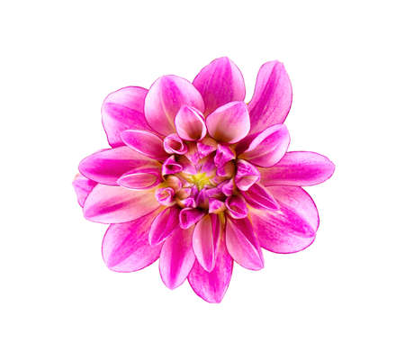 Dahlia flower. Pink Dahlia flower isolated on white background Archivio Fotografico