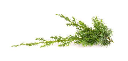 Juniper twig isolated on white background. Ornamental plants for landscape design