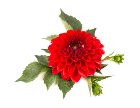 Dahlia flower. Red Dahlia flower with green leaves