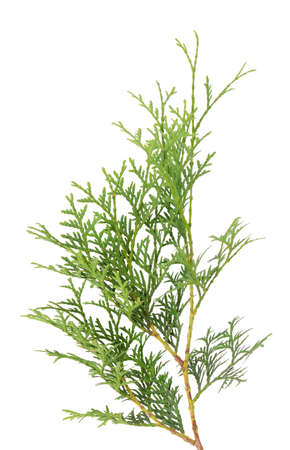 Green arborvitae branch, isolated on white background. Green thuja sprig