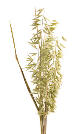 Dry spikelets of oat, isolated on white background 스톡 콘텐츠