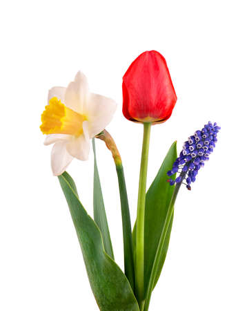 Muscari, narcissus and red tulip with green leaves, isolated on white background. Spring flowers. Archivio Fotografico