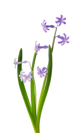 Wild hyacinth flowers isolated on white background. Hyacinthus orientalis. Beautiful spring flowers.